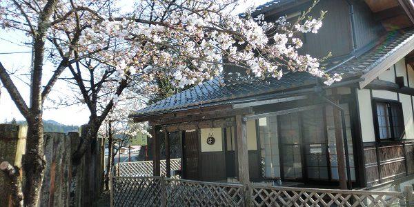 庭先の桜が満開です!